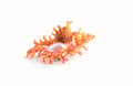 Spiny triton seashell underside of a colorful orange and pink against white background Stock Images