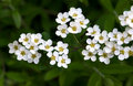 Spiraea Royalty Free Stock Image
