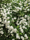 Spiraea nipponica, snowmound, flowering plant Royalty Free Stock Photo