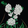 Spiraea vanhouttei, meadow sweet Stock Photo