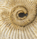 Spiral fossil close up Royalty Free Stock Photo