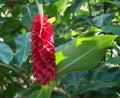 stock image of  Spiral Ginger Costus barbatus Suess, taken at Sydney Royal Botanic Gardens