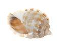 Spiral Seashell Royalty Free Stock Photo