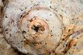 Spiral Seashell - Macro Photo Royalty Free Stock Photo