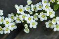 Spirea thumbergii spring flower macro of Stock Photography