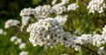 Spirea vangutta spiraea vanhouttei delicate blossoms may afternoon Stock Image