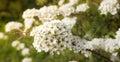 Spirea vangutta spiraea vanhouttei delicate blossoms may afternoon Stock Photo