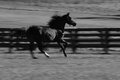 Spirited horse galloping in paddock in black and white Stock Photo