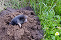 Spirng mole  and molehill Stock Photo