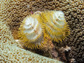 Spirobranchus giganteus christmas tree worms commonly known as are tube building polychaete belonging to the family Stock Photo