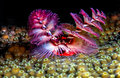 Spirobranchus giganteus christmas tree worms extended on caribbean coral reef Royalty Free Stock Photos