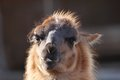 Spitting llama head lama glama portrait over out of focus background Royalty Free Stock Photo