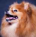 Spitz on a black background Stock Photo