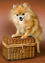 Spitz-dog with a bast basket Royalty Free Stock Images