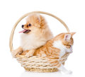Spitz dog embraces a cat in basket. Royalty Free Stock Photo