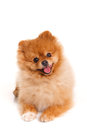 Spitz pomeranian dog on white background studio shot portrait of sitting isolated Stock Image