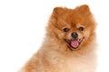Spitz pomeranian dog on white background studio shot portrait of sitting isolated Royalty Free Stock Photography