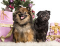 Spitz and Pug sitting in front of Christmas decorations Royalty Free Stock Image