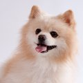 Spitz puppy lying in front. Royalty Free Stock Photography