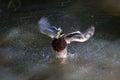 Splashing duck stock photo of Royalty Free Stock Image