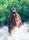 Splashing nice bay mare in river Royalty Free Stock Photo