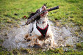 Splashing wet dog in puddle muddy with a stick a having fun Royalty Free Stock Photography