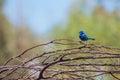 Splendid Fairy Blue Wren Royalty Free Stock Photo