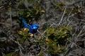 Splendid fairy-wren 1 Royalty Free Stock Photo