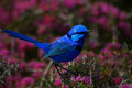 Splendid fairy-wren 2 Royalty Free Stock Photo