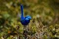 Splendid fairy-wren 3 Royalty Free Stock Photo