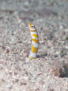 Splendid garden eel in bohol sea phlippines islands Stock Photos