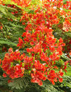 Splendid Gulmohar flowers Royalty Free Stock Photo