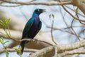 Splendid starling a perched on a branch Royalty Free Stock Photos