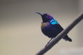 Splendid sunbird the adult of sitting on the branch Stock Photography