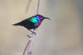 Splendid sunbird sitting on the branch Royalty Free Stock Images
