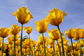 Splendid tulips field with golden flower Stock Image