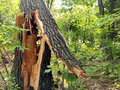 Splintered tree from storm large oak damaged a wind Royalty Free Stock Photo
