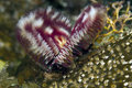 Split-crown feather duster worm Stock Images