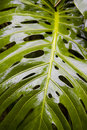 Split Leaf Philodendron Stock Photos