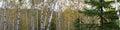 Split Rock Lighthouse Birch Trees Royalty Free Stock Photo