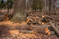 Split tree trunks, lying in the forest. Woodworking industry. Trunks of trees fell to the ground around the tree. Royalty Free Stock Photo