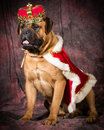 Spoiled dog bullmastiff wearing king costume on purple background Royalty Free Stock Photos