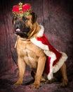 Spoiled dog bullmastiff wearing king costume on purple background Royalty Free Stock Photos