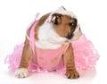 Spoiled dog english bulldog dressed up like a ballerina on white background Royalty Free Stock Image