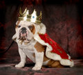 Spoiled dog english bulldog dressed up like a king year old male Royalty Free Stock Photography