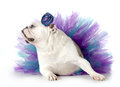Spoiled dog english bulldog dressed up wearing a tutu isolated on white background Royalty Free Stock Images