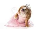 Spoiled dog english bulldog wearing princess costume Stock Images