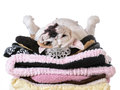 Spoiled dog laying on a pile of soft beds isolated on white background english bulldog Royalty Free Stock Image