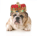 Spoiled dog wearing crown english bulldog wearing king s crown laying looking at viewer isolated on white background Royalty Free Stock Photos