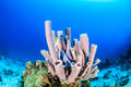 Sponges on a coral reef purple tube tropical Stock Image